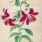 Lilium auratum var. rubro-vittatum now var. platyphyllum, colour woodblock print by an unknown Japanese artist. One of 24 prints of Japanese lilies brought to England by Lord Saumarez in the 1870s
